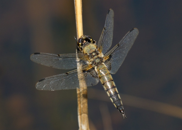 Rathlin2018_Four-spotted Chaser6a